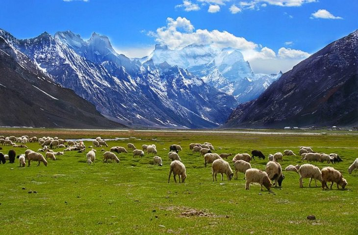 Beautiful scenery, sights and landscapes that can be seen by tourists and travelers in Ladakh, Union Territory in India, Sheep graze in the fields of Rangdum village in Suru Valley