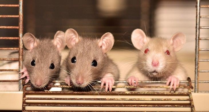Las ratas tienen mayor memoria episódica de lo que se pensaba anteriormente