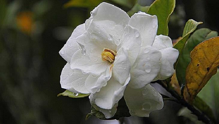 Flores aromáticas Gardenia