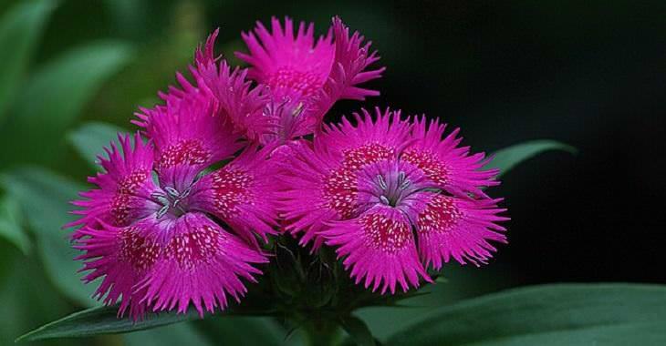 Flores aromáticas Dianthus