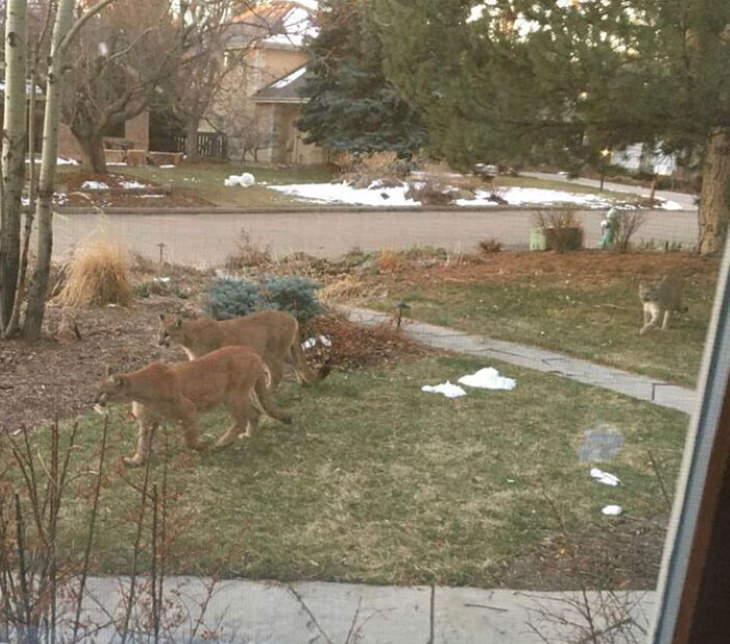 Animales exploran la ciudad en cuarentena pumas en zona residencial