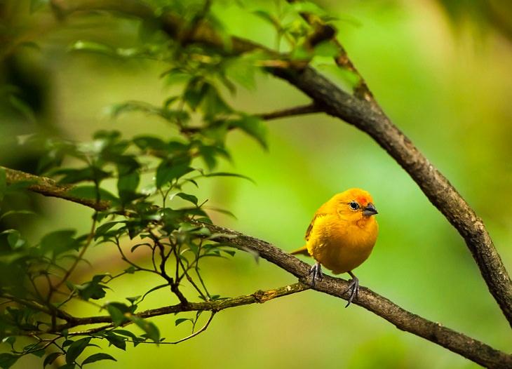 Canary, Best Singing Birds