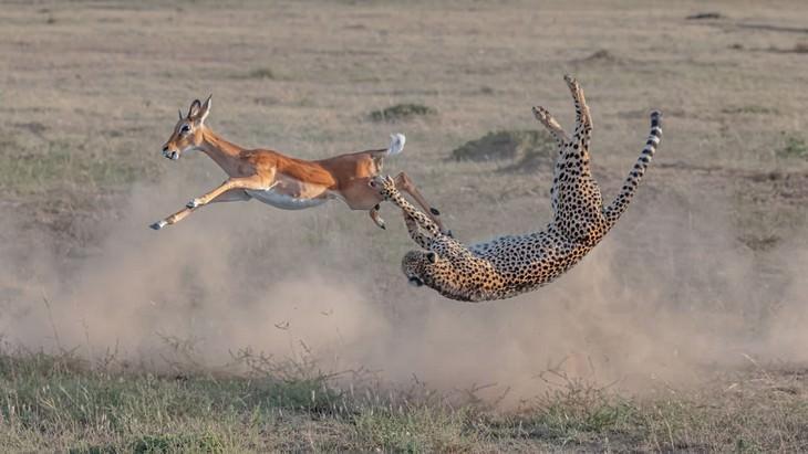 """Ganador de la fauna terrestre: """"Caza de guepardos en masai mara"""" por Yi Liu"""
