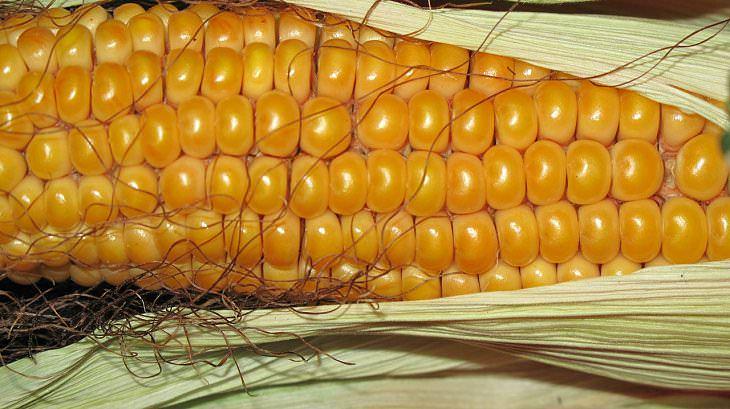 preservar maiz