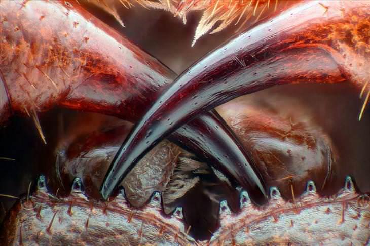 Los colmillos venenosos de un ciempiés
