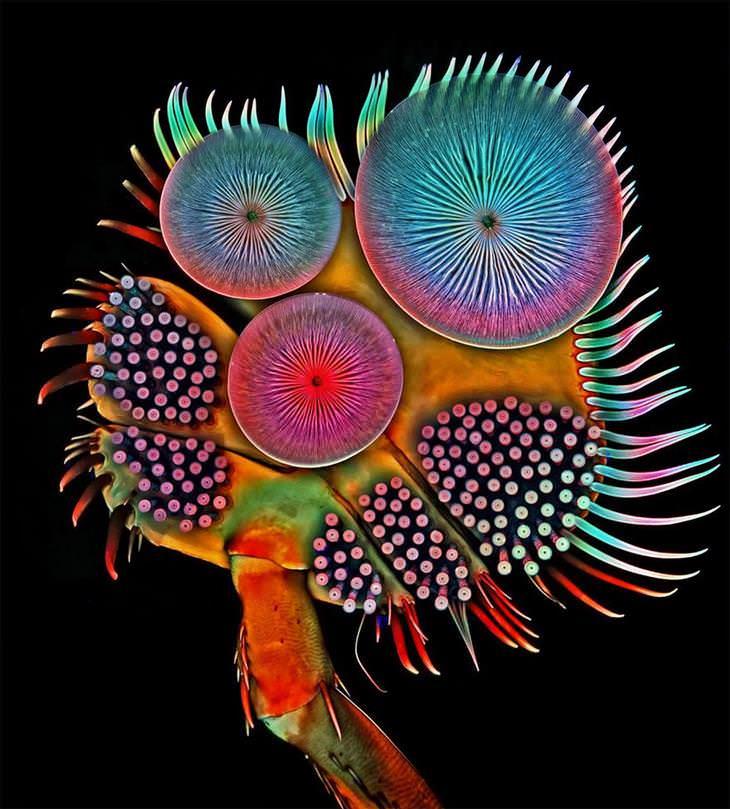 El pie delantero de un escarabajo buceador masculino