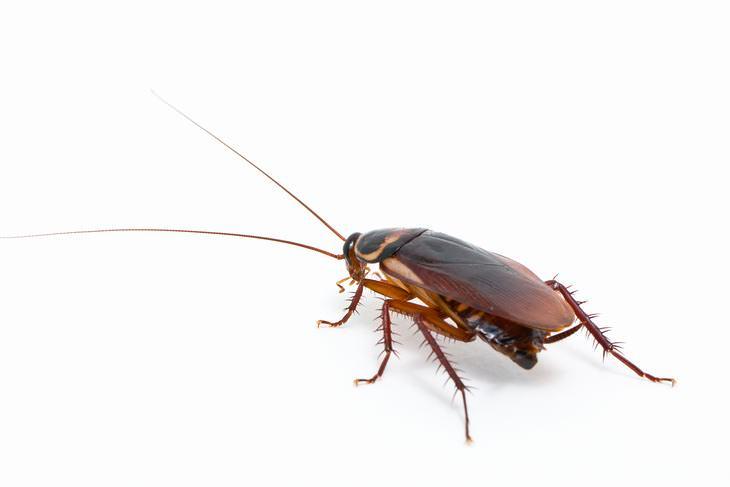Principales Enfermedades Causadas Por Las Cucarachas
