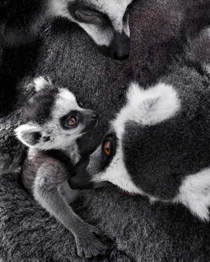 Una familia de lémures acurrucados