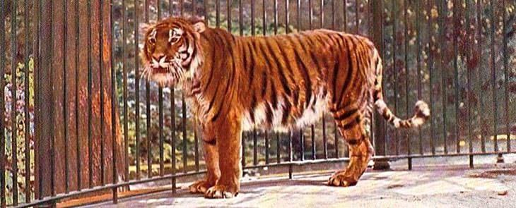 Animales extintos que la ciencia quiere recuperar tigres caspios