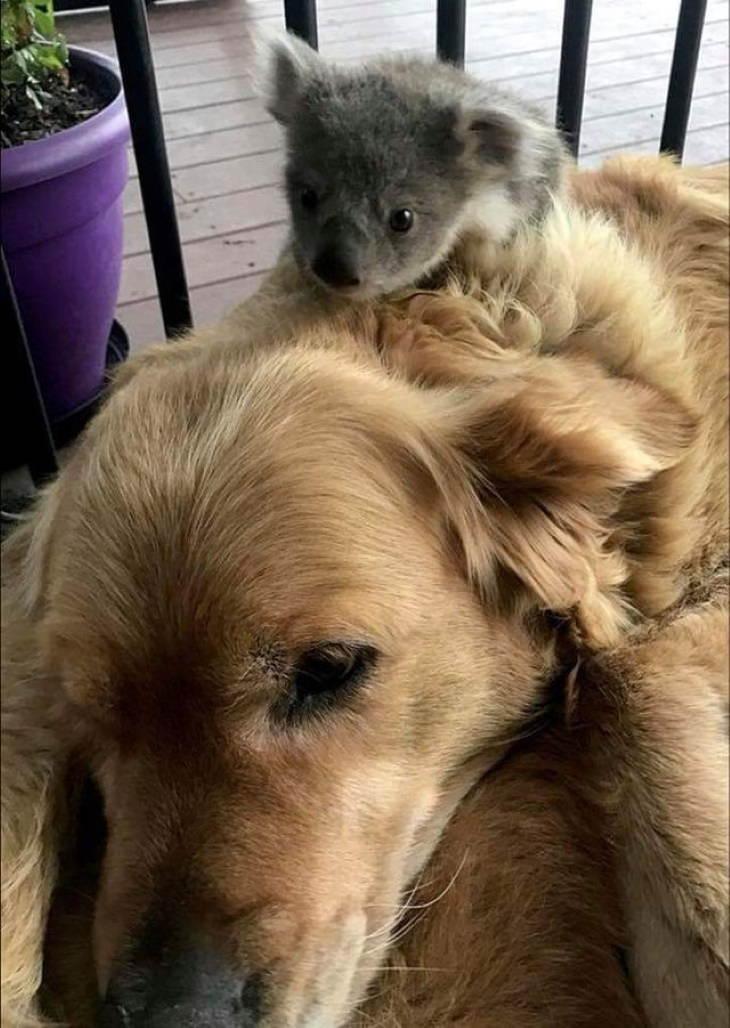 Animales Que Llegaron Sin Invitación koala bebé