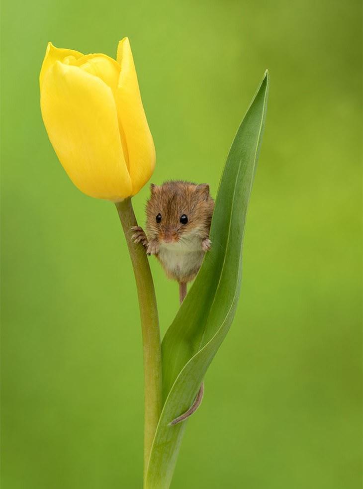 20 Lindas y Tiernas Imágenes De Ratoncitos ratoncito enmedio de tulipán amarillo