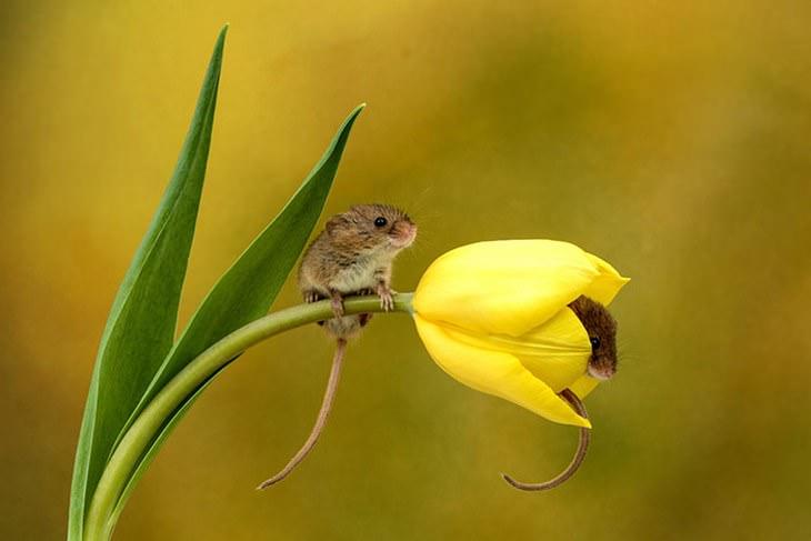 20 Lindas y Tiernas Imágenes De Ratoncitos ratoncitos en tulipán amarillo