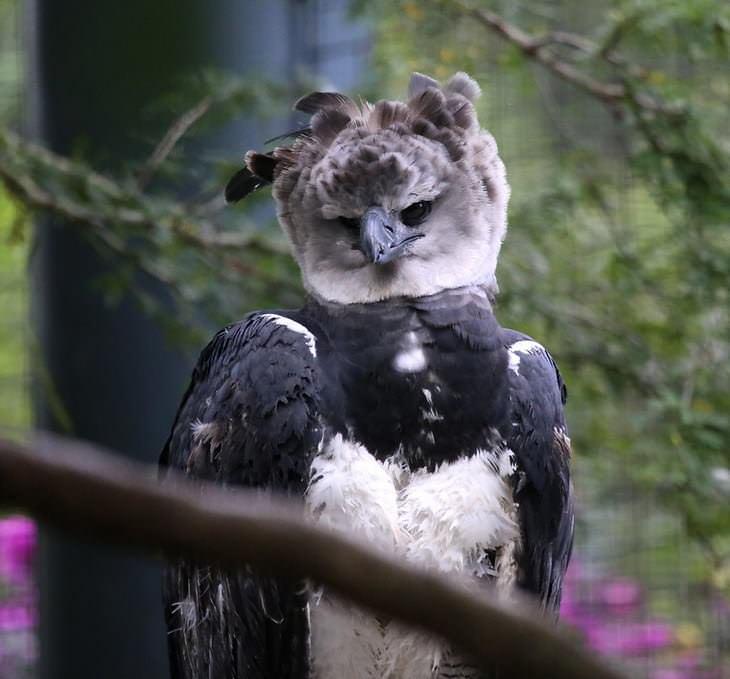 El Águila Arpía  foto frontal