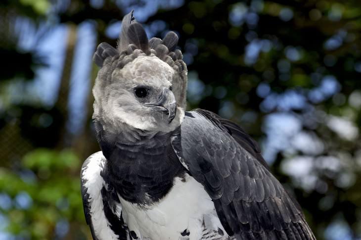 El Águila Arpía
