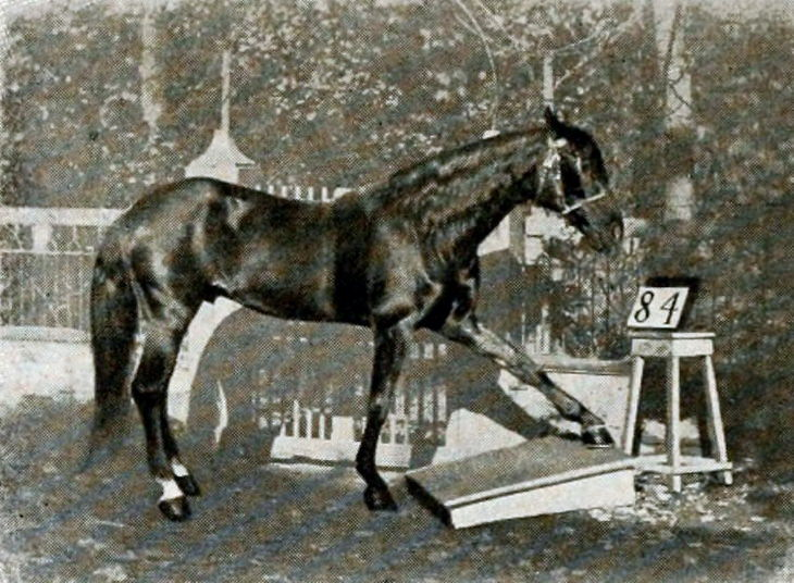 El caballo Hans tocando el número en una tabla del piso