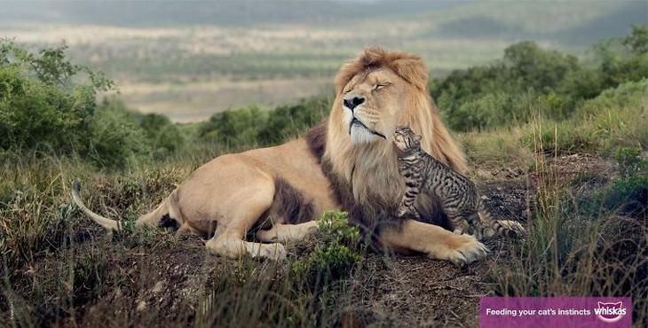Anuncios divertidos de gatos gatito con león