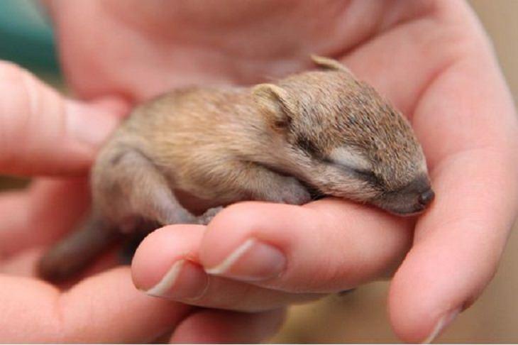 Imágenes de animales bebés raros y hermosos numbat bebé