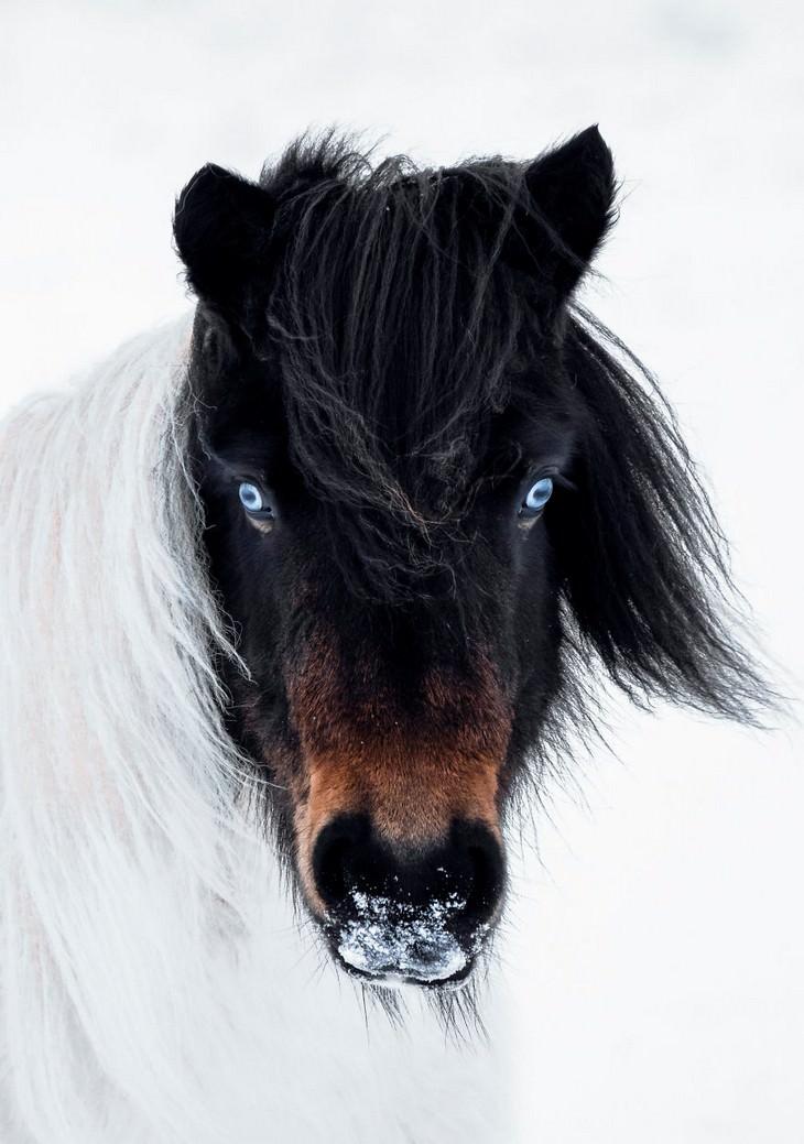 La Belleza De Islandia en 15 fotos caballo con ojos de husky