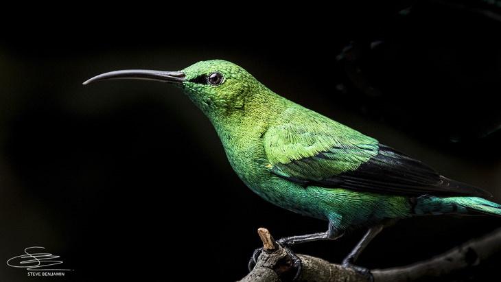 Fotos de aves solares de Steve Benjamin Malaquita