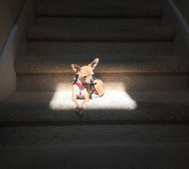 Imágenes De Animales Captadas En Momentos Graciosos perro chihuahua tomando el sol