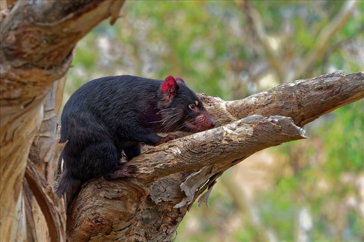 Misterios Animales Sin Explicación Científica Los demonios de Tasmania extrañamente resistentes