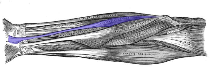2. Músculos de Palmaris longus en el antebrazo.