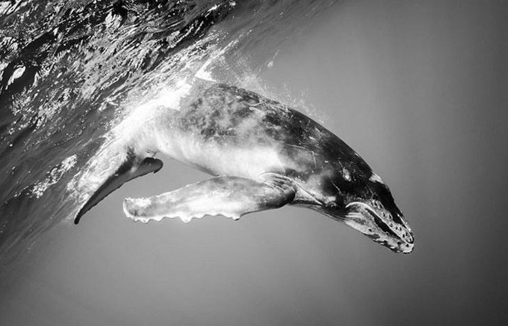 Espectaculares Fotografías Del Océano a Blanco y Negro ballena jorobada