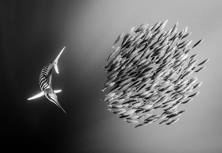 Espectaculares Fotografías Del Océano a Blanco y Negro marlin rayado