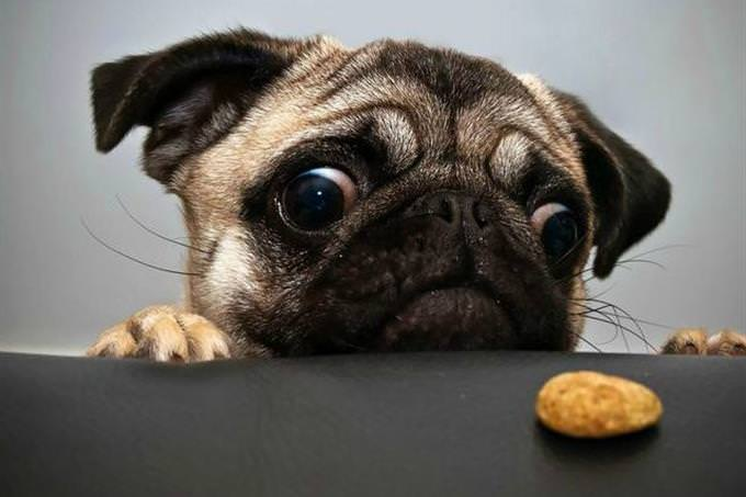 pug and cookie
