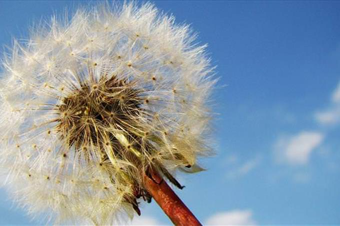 dandelion and sky