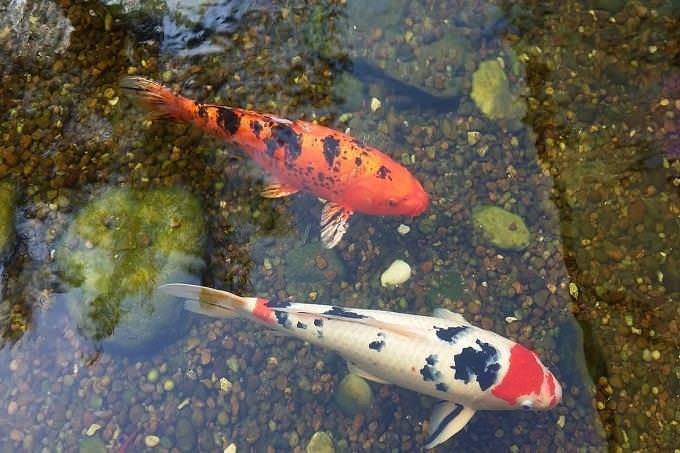 Test de personalidad: peces koi en un estanque.