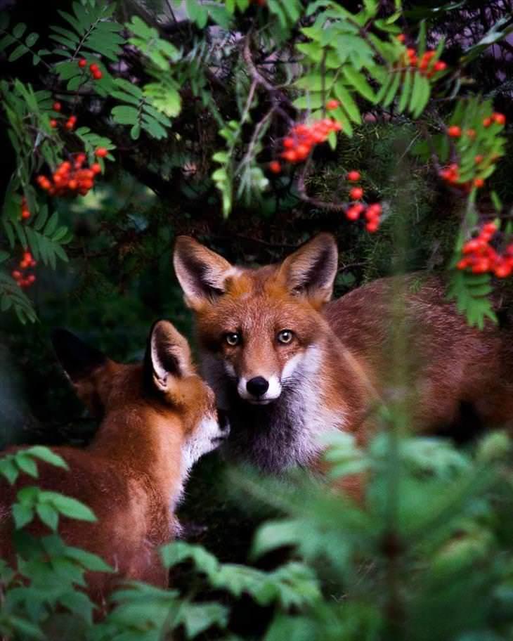 Fotografías De Los Animales De Los Bosques En Finlandia zorros