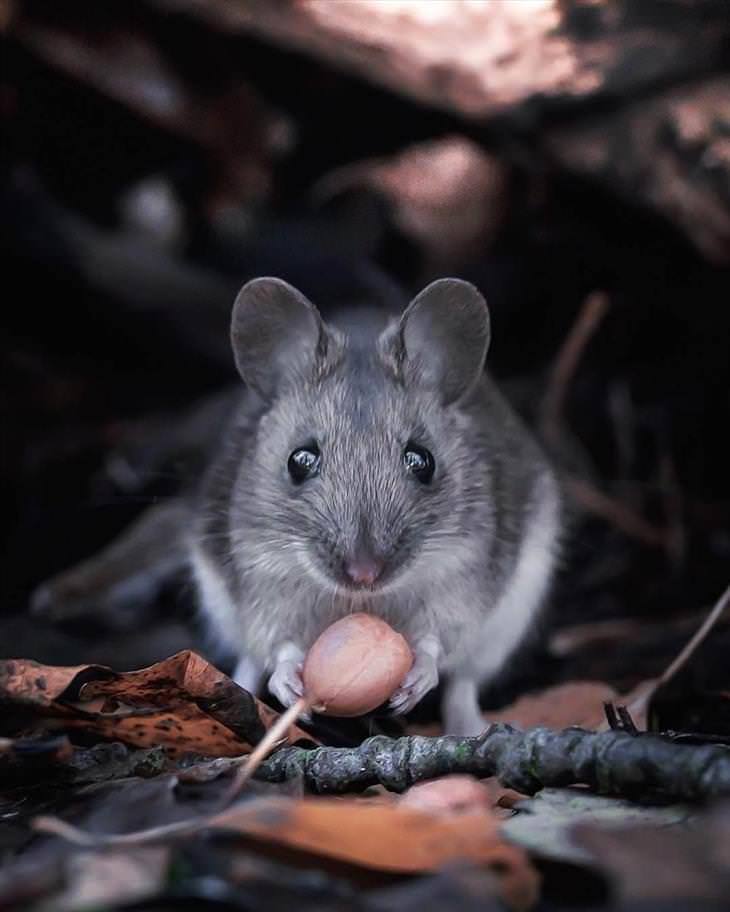 Fotografías De Los Animales De Los Bosques En Finlandia ratón