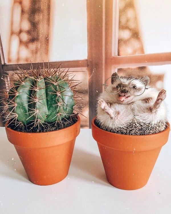 Sr. Pokee: Un Erizo Que Es Todo Un Modelo Cactus
