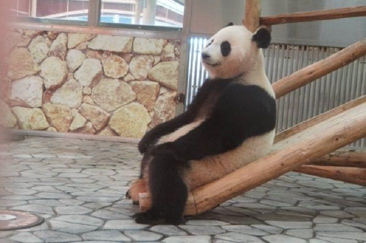 Animales en situaciones cómicas panda descansando