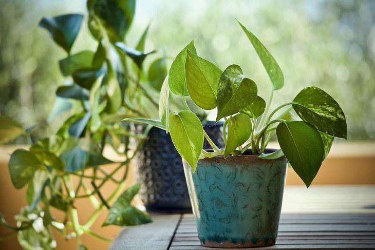 Plantas de interior de bajo mantenimiento Pothos (Epipremnum)
