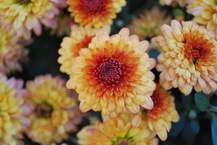 1. Crisantemo de cola de tigre