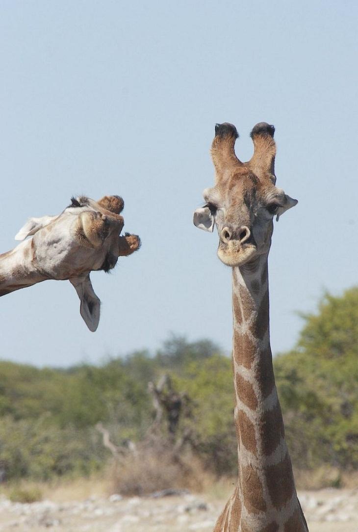 Fotos De Los Premios De Comedia De La Vida Silvestre jirafas