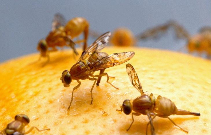 6 Plagas Comunes De La Despensa y Cómo Deshacerte De Ellas Moscas de la fruta
