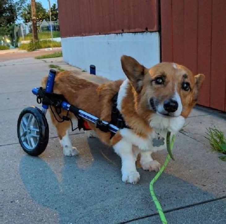 17 Conmovedoras Fotos De Perros Ancianos perro con caminadora