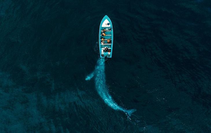 """1. Ganador de la categoría Naturaleza: """"La ballena gris juega a empujar a los turistas"""" por Joseph Cheires"""