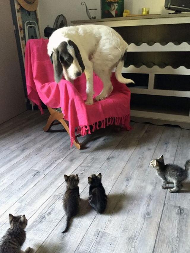Divertidas Fotos De Perros Que Han Sido Dominados Por Gatos perro acorralado por gatos