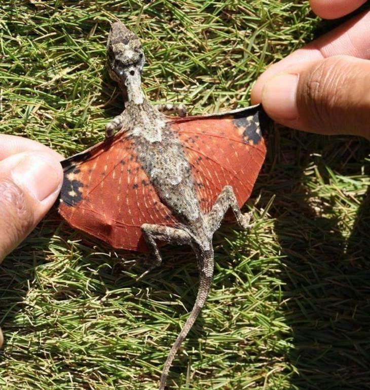 Animales Extraños dragón volador común (Draco volans)
