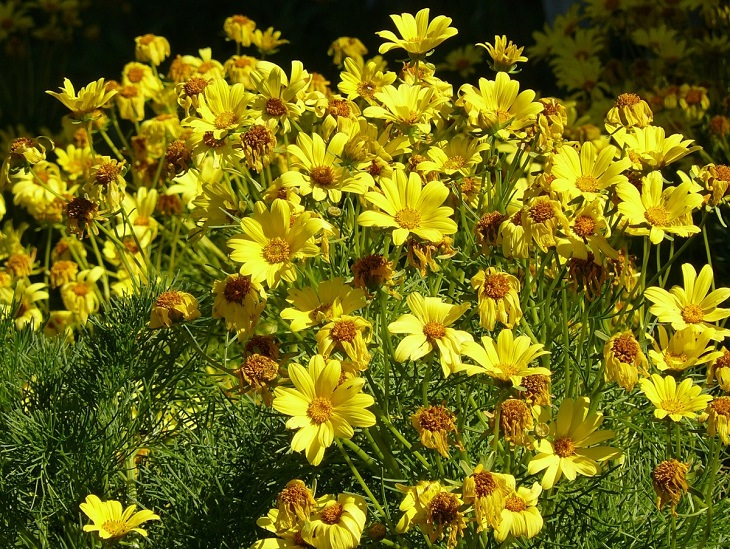 Low-maintenance perennial plants with colorful flowers, Coreopsis