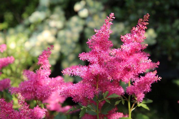 . Astilbe plantas perennes