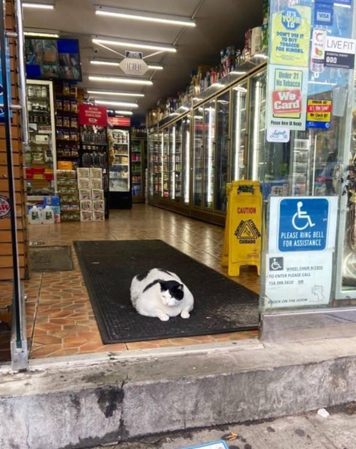 Gatos En Los Supermercados Gato blanco en la entrada de un supermercado