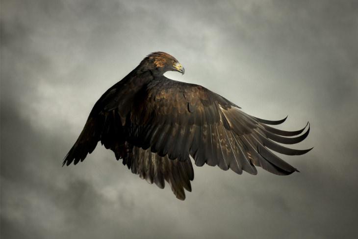 Aves De Presa En Pleno Vuelo Águila