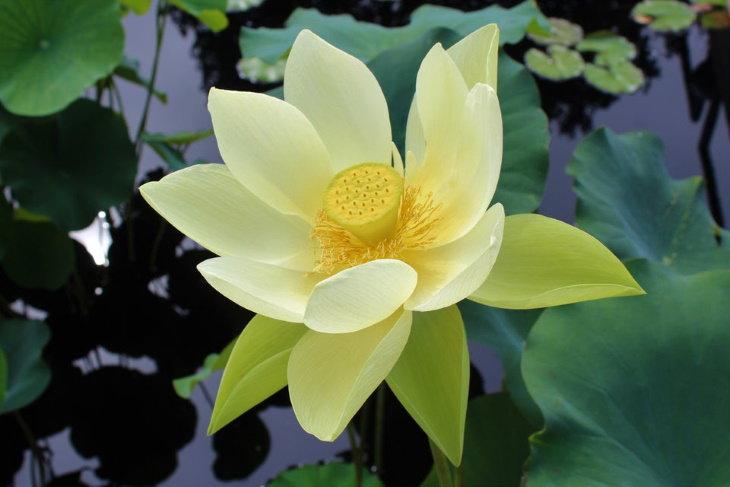 Maravillosas plantas, Lotus