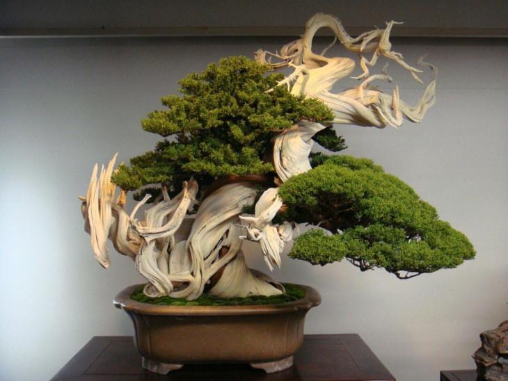 Maravillosas planta, Bonsai de 800 años