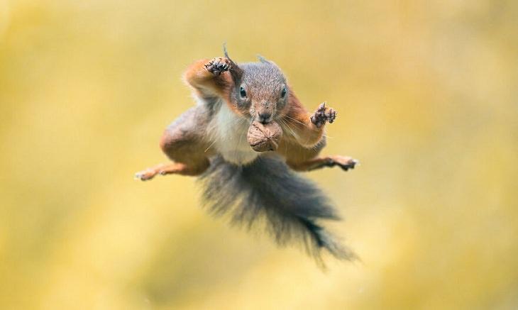 Fotos De Animales Perfectamente Sincronizadas Ardilla saltando hacia las nueces